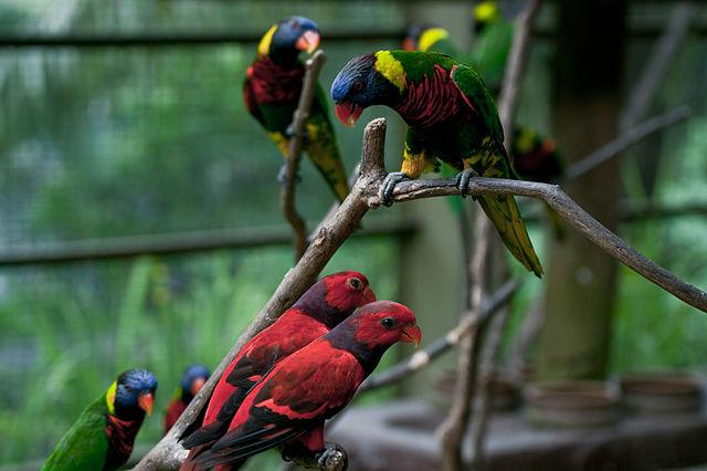 640px-Lorikeets_-Kuala_Lumpur_Bird_Park,_Malaysia-8a